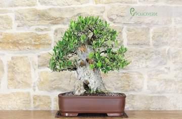 bonsai di olivo