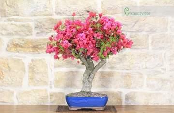 bonsai bougainvillea