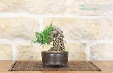 bonsai pino nero