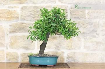 bonsai prugnolo