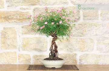 Immagine di Bonsai di Rosa Multiflora (2)